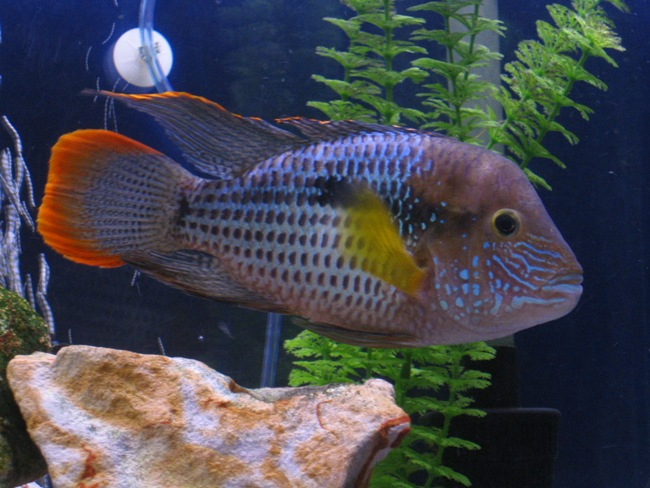 рыбка семейства цихловых родом из южной америки акара бирюзовая в аквариуме