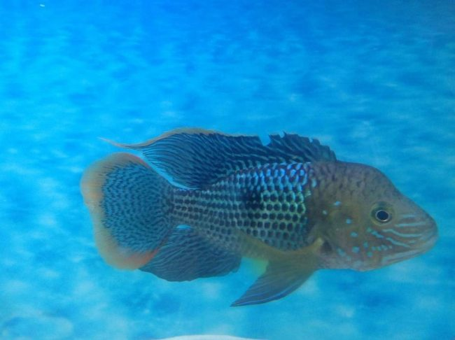 аквариумная рыбка бирюзовая акара