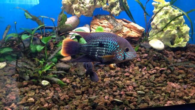 южно-американская рыба акара бирюзовая в аквариуме