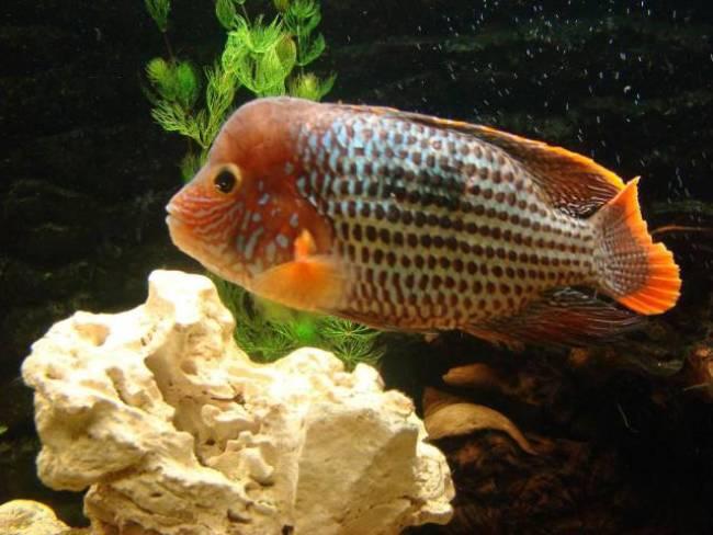 рыбка семейства цихловых акара бирюзовая плавает в аквариуме