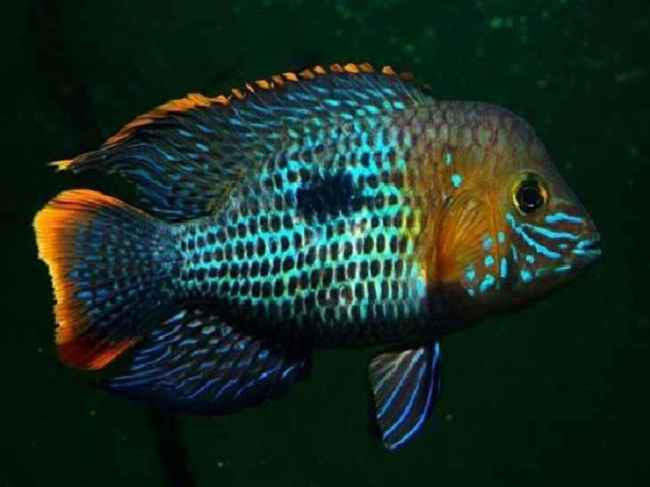 южно-американская рыба акара бирюзовая