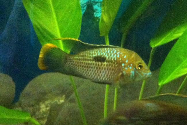 рыба бирюзовая акара в аквариуме