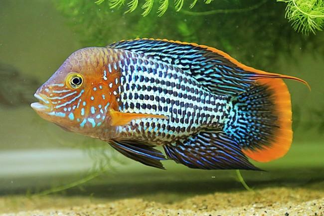 южно-американская рыба бирюзовая акара или зеленый террор