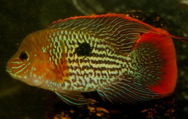 рыба семейства цихловых родом из южной америки бирюзовая акара в аквариуме