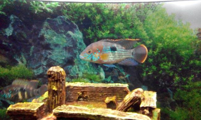 южно-американская рыба бирюзовая акара или зеленый террор в аквариуме