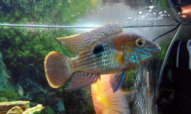 цихлида родом из южной америки бирюзовая акара плавает в аквариуме