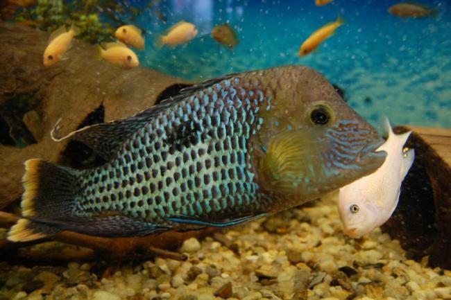 южно-американская рыба бирюзовая акара