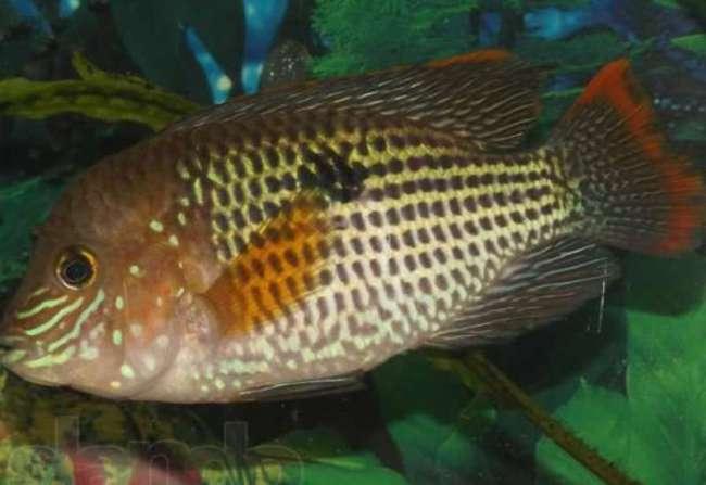 рыбка семейства цихловых родом из южной америки бирюзовая акара