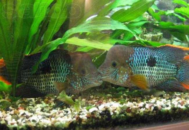 цихлиды родом из южной америки бирюзовые акары или зеленый террор в аквариуме