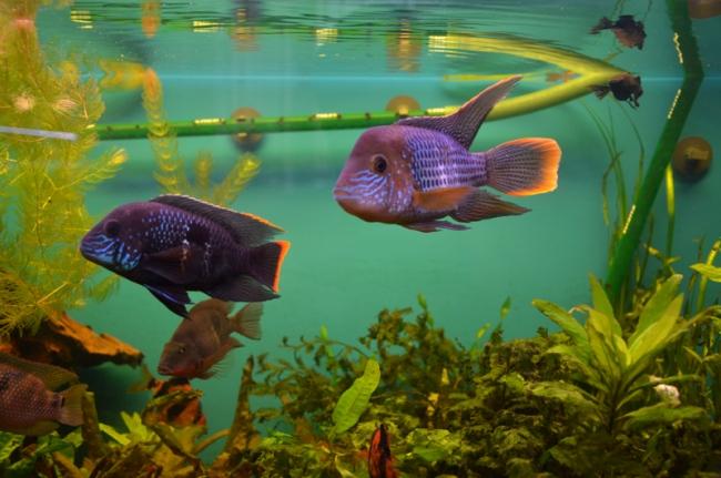 южно-американские рыбки акары бирюзовые в аквариуме