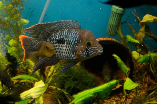 рыбка семейства цихловых бирюзовая акара в аквариуме