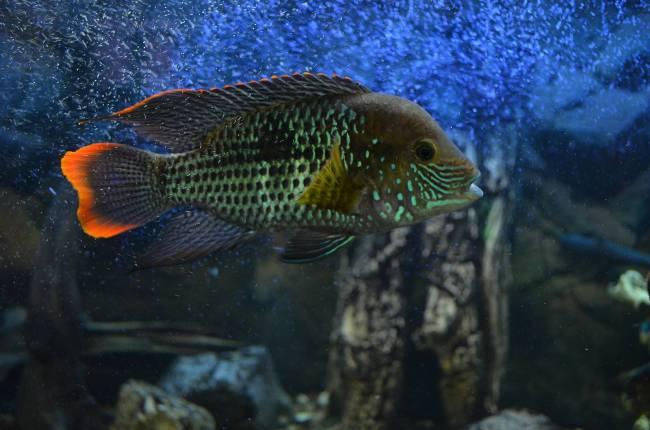 рыбка семейства цихловых родом из южной америки акара бирюзовая плавает в аквариуме