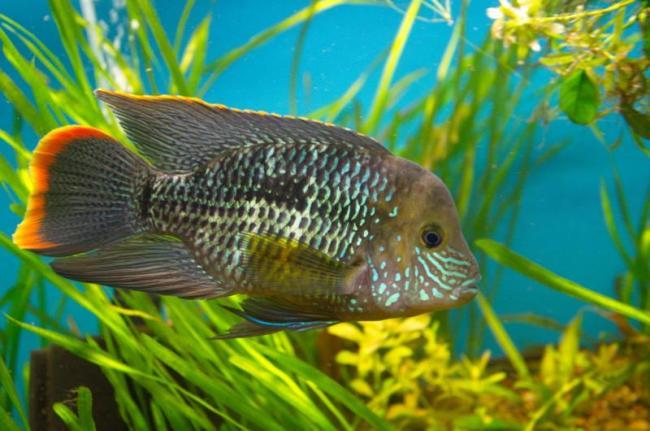 рыбка родом из южной америки акара бирюзовая или зеленый террор плавает в аквариуме