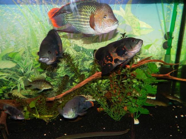 бирюзовые акары и астронотусы в аквариуме