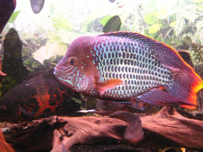 рыба бирюзовая акара или зеленый террор плавает в аквариуме