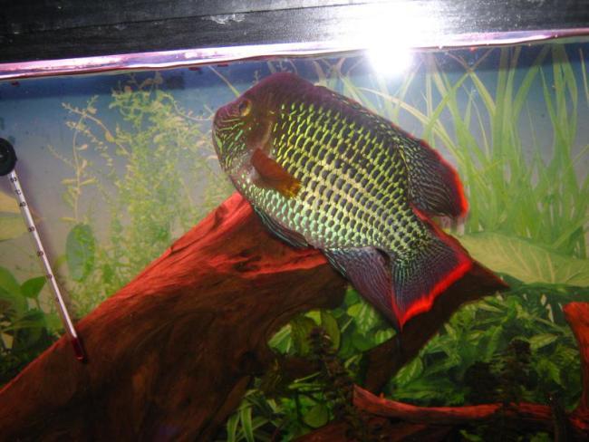 рыба родом из южной америки акара бирюзовая или зеленый террор плавает в аквариуме