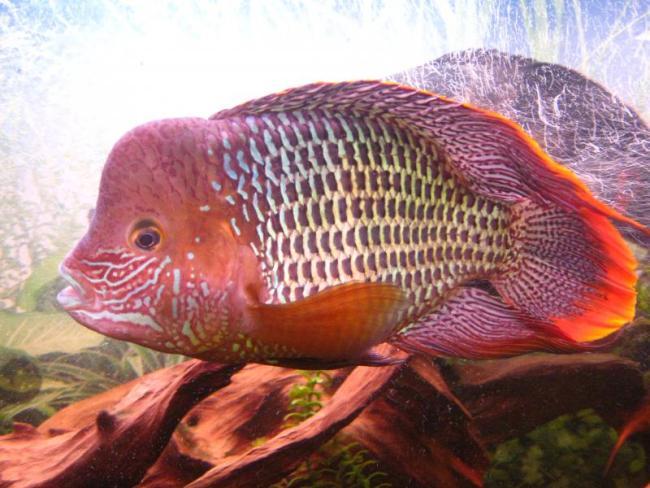 южно-американская рыба акара бирюзовая или зеленый террор