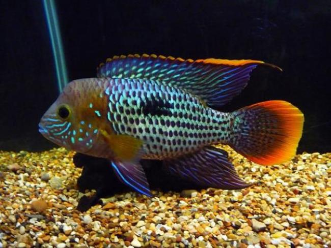 рыбка семейства цихловых бирюзовая акара плавает в аквариуме