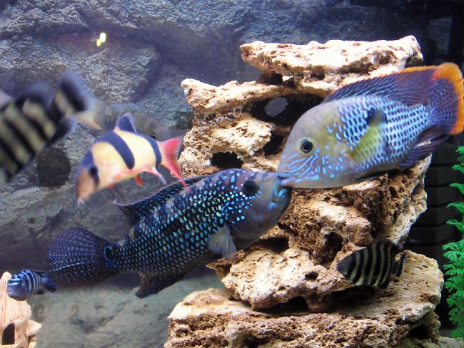 акары бирюзовые на фоне камней в аквариуме с другими рыбками