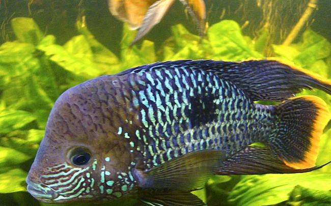 рыба бирюзовая акара плавает в аквариуме на фоне растений