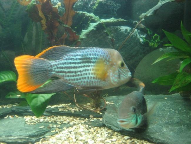 рыбка родом из южной америки бирюзовая акара в аквариуме