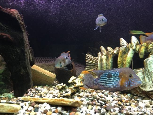 аквариум с бирюзовыми акарами