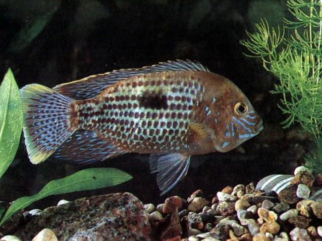 рыба родом из южной америки бирюзовая акара