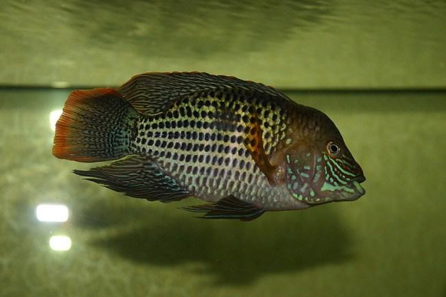 южно-американская аквариумная рыбка акара бирюзовая