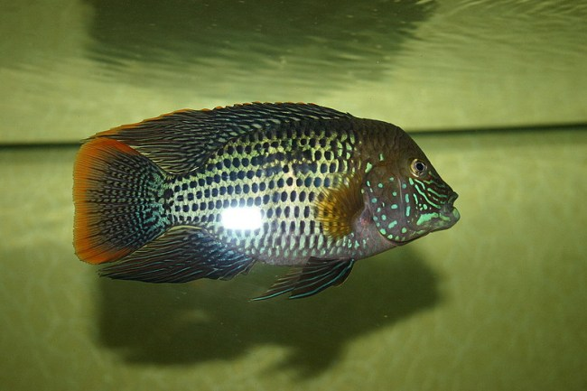 рыба акара бирюзовая