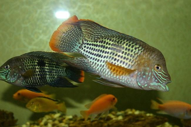 бирюзовые акары плавают в аквариуме с другими рыбками