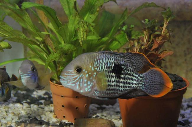 акара бирюзовая на фоне растений в аквариуме