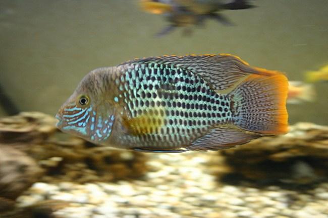 южно-американская рыба акара бирюзовая плавает в аквариуме