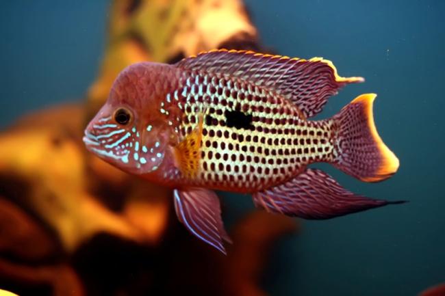 аквариумная рыбка акара бирюзовая