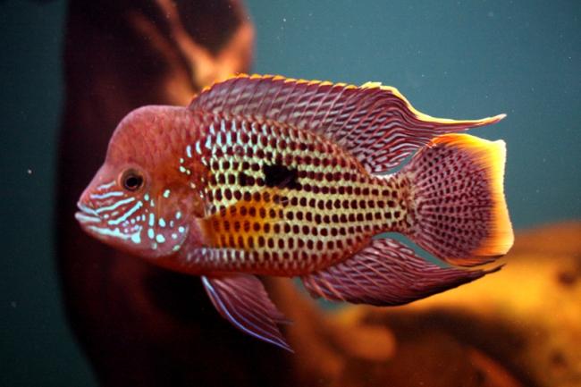 рыбка акара бирюзовая в аквариуме