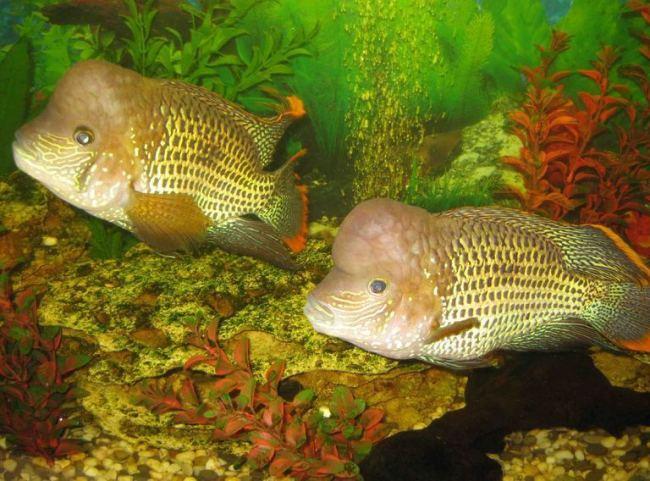 южно-американские рыбки акары бирюзовые плавают в аквариуме