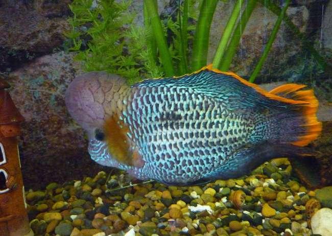 рыба семейства цихловых родом из южной америки акара бирюзовая в аквариуме