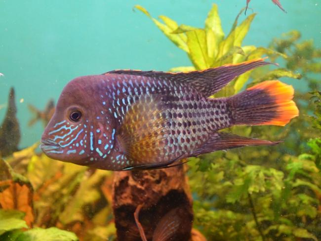 рыбка родом из южной америки бирюзовая акара плавает в аквариуме