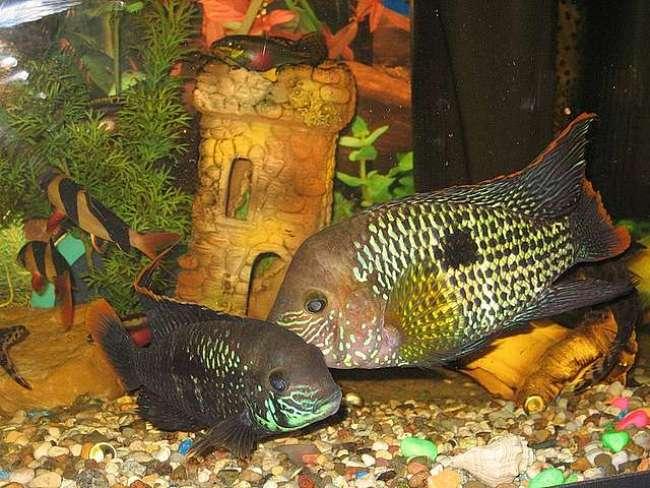 рыбки семейства цихловых акары бирюзовые