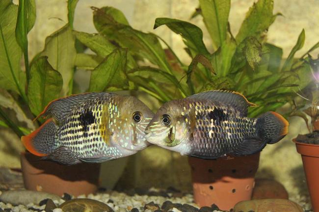 акары бирюзовые на фоне растений в аквариуме