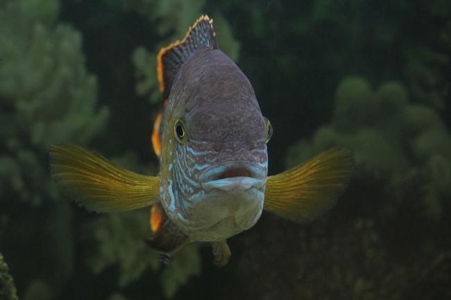 рыба акара бирюзовая плавает в аквариуме