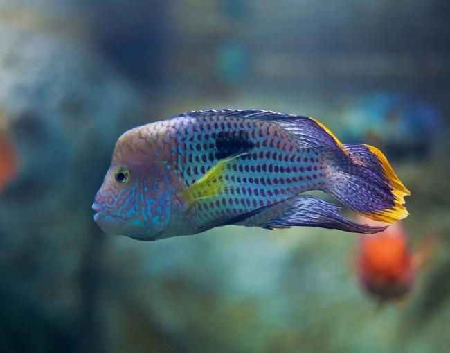 рыбка родом из южной америки акара бирюзовая или зеленый террор в аквариуме