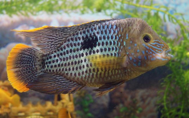 рыбка родом из южной америки акара бирюзовая плавает в аквариуме