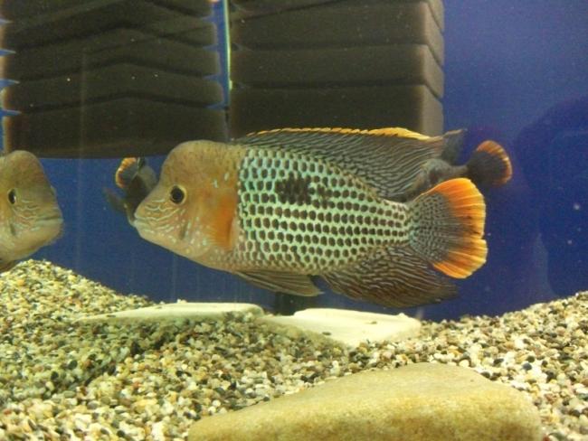 рыба родом из южной америки бирюзовая акара плавает в аквариуме