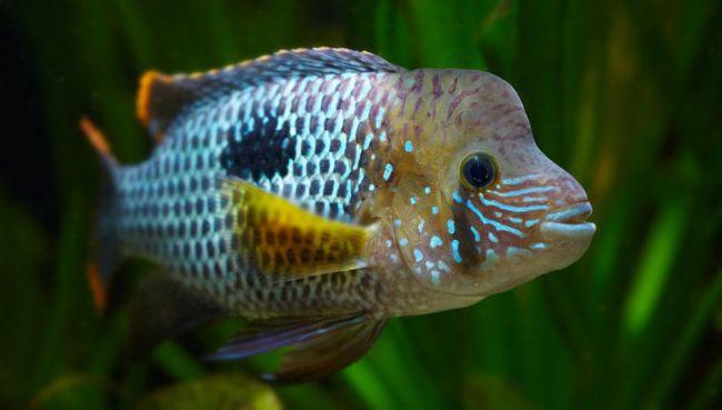 рыбка бирюзовая акара в аквариуме на фоне растений