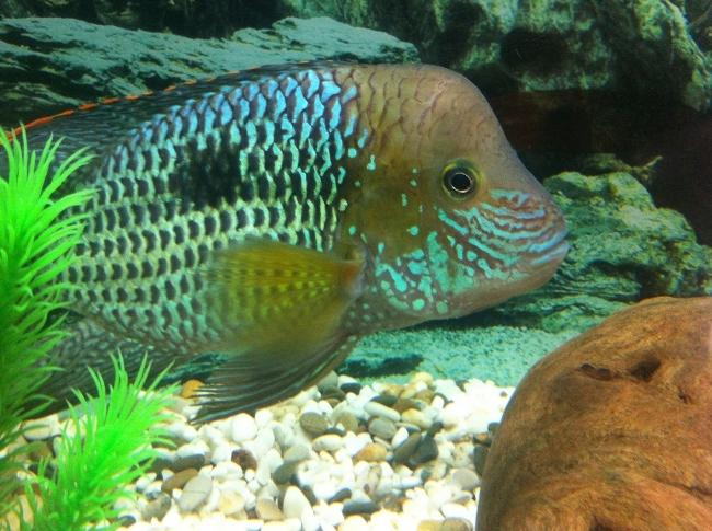 южно-американская рыбка акара бирюзовая или зеленый террор в аквариуме