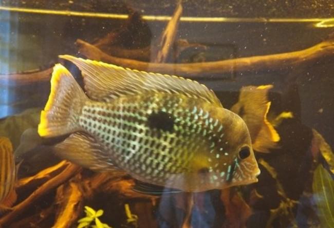 южно-американская цихлида акара бирюзовая или зеленый террор плавает в аквариуме