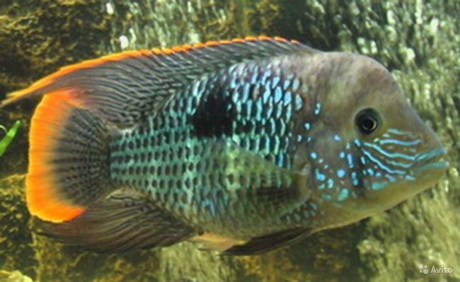 рыбка бирюзовая акара в аквариуме