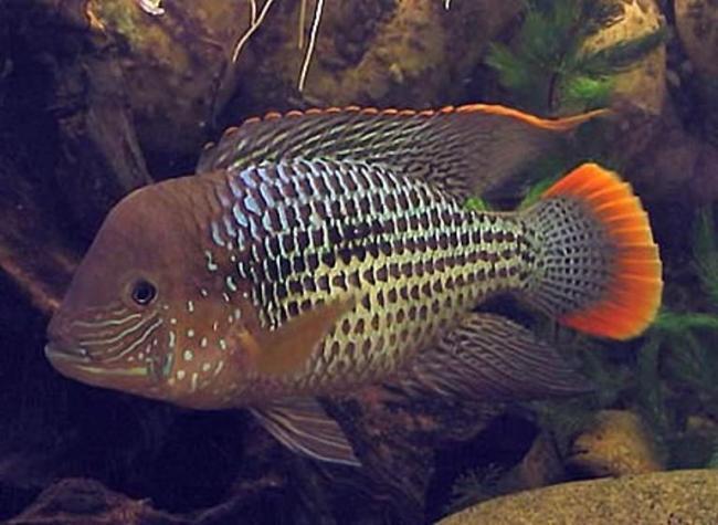 рыба семейства цихловых родом из южной америки бирюзовая акара