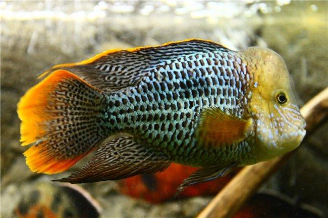 южно-американская цихлида бирюзовая акара в аквариуме