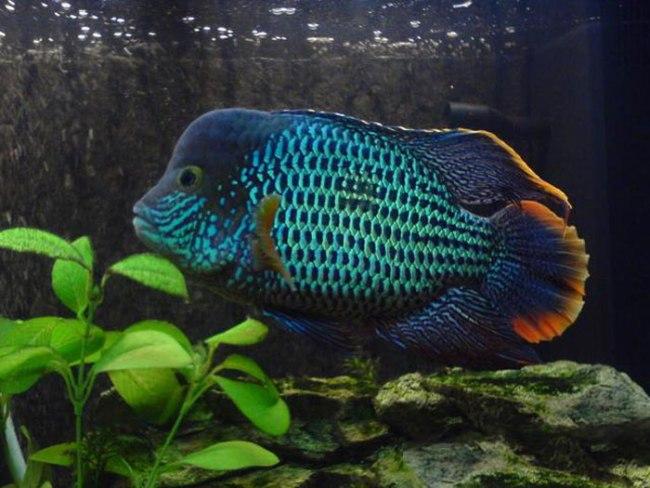 рыбка акара бирюзовая плавает в аквариуме